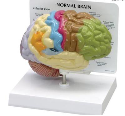 Halv hjerne model