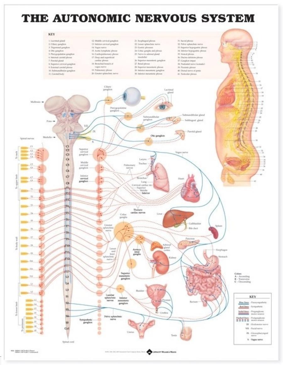 Det autonome nervesystem lamineret plakat engelsk (Autonomic nervous system)