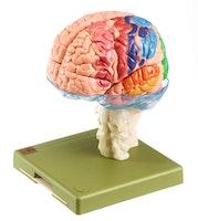 SOMSO hjernemodell i 15 deler med cytoarkitektoniske områder markert med farge