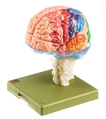 Hjernemodel i højeste kvalitet og mange områder i pædagogiske farver. Kan adskilles i 15 dele