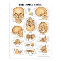 Hoved- og kranieplakater