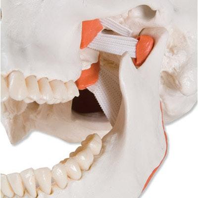 Funktionelt kranie med Masticator muskler, 2 dele
