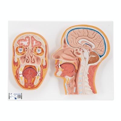 Model af median og frontal sektion af menneskehoved