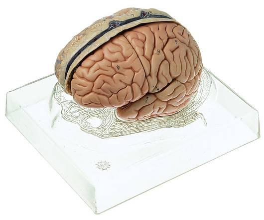 SOMSO Hjernemodel
