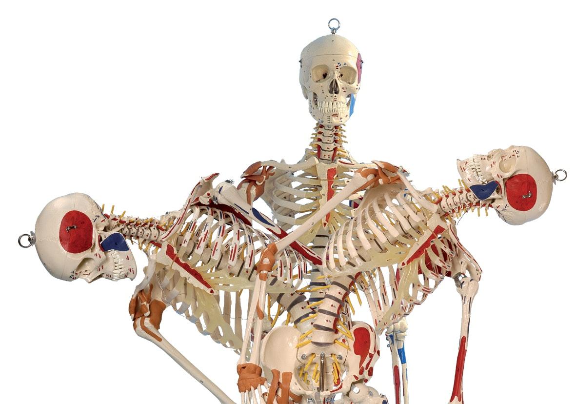 Rüdiger skeletmodel med ansigtsmuskler, ligamenter og muskelangivelser