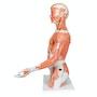 Muskeltorso i 33 dele