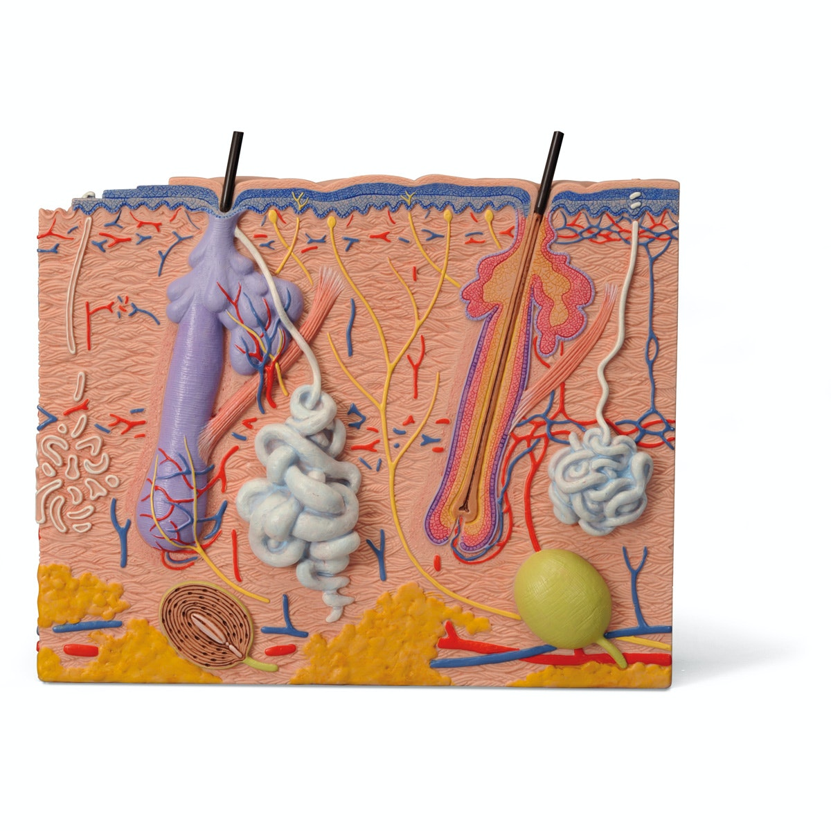 Detaljeret hudmodel af 3 hudområder. Kan adskilles i 3 dele