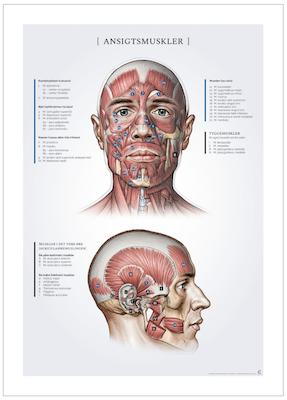 Plakat om ansigtsmuskler