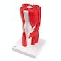 Komplet og særdeles fleksibel knæmodel med ledbånd og muskler som kan adskilles i 12 dele