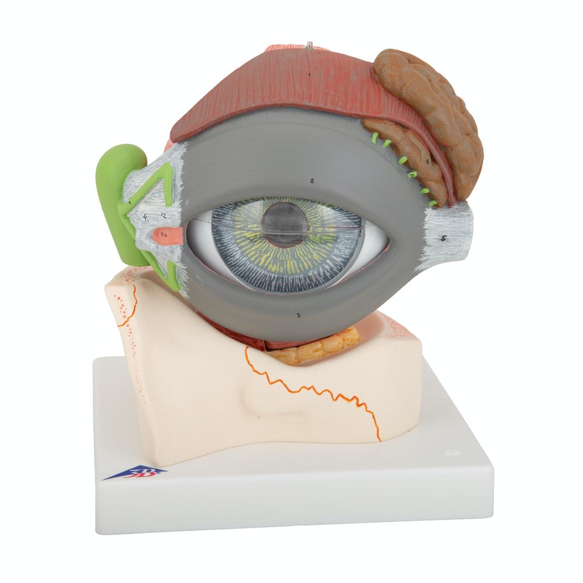 Øjemodel 5 x normalstørrelse i 8 dele