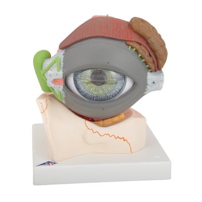 Komplet øjemodel som er forstørret og kan adskilles i 8 dele