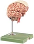 SOMSO hjernemodel med arterier, farvemakeringer, falx cerebri
