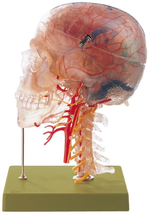 SOMSO Neuroanatomisk hovedmodel