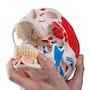 Kraniemodel som viser blodkar og nerver i underkæben samt farvede muskelangivelser. Kan deles i 3
