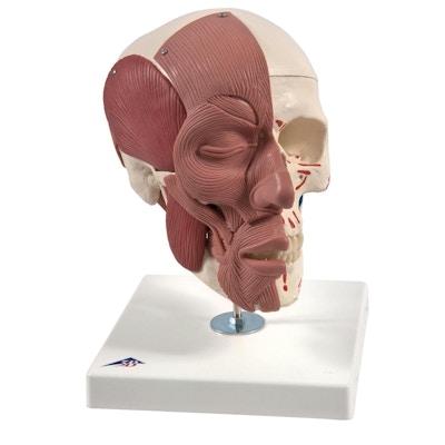 Kraniemodel med både tygge- og ansigtsmusklerne