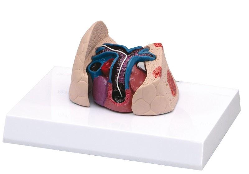 Kattehjerte og lungemodel med hjerteorm