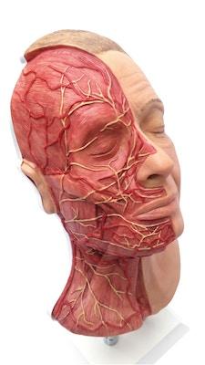 Model af hoved til ansigts injektioner, med muskler, arterier og nerver