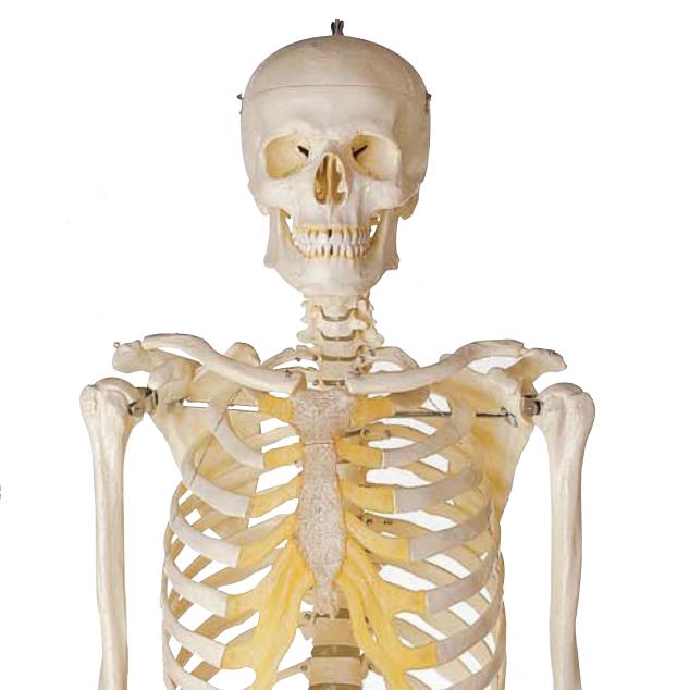 SOMSO mandlig skeletmodel