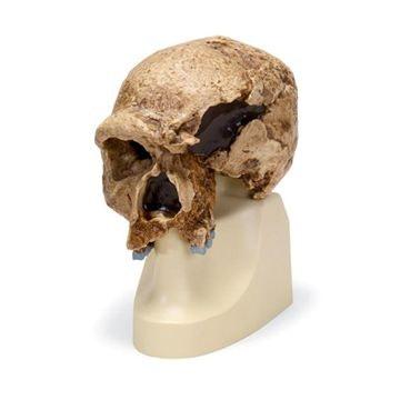 antropologisk kranie - Steinheim