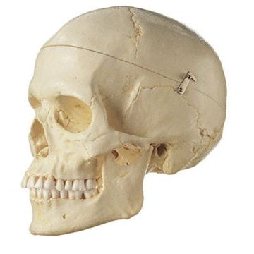 SOMSO kvindelig kraniemodel