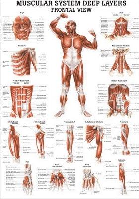 Lamineret muskelplakat målrettet kroppens forside på engelsk