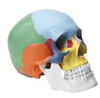 Klassisk kraniemodel med pædagogisk farvet knogler