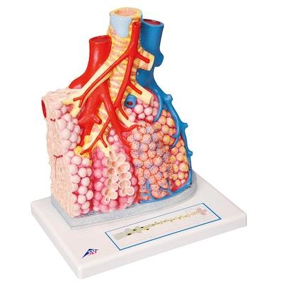Alveolesække med omkringliggende strukturer