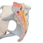 Kvindelig bækken skeletmodel med ledbånd, muskler og organer