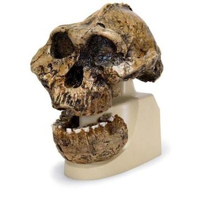antropologisk kranie - KNM-ER 406, Omo L. 7a-125