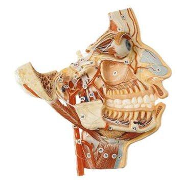 SOMSO Nerver og kar af det forreste kranie