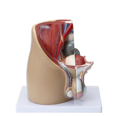 Model af de indre og ydre kønsorganer samt relationer til andre organer/væv hos manden