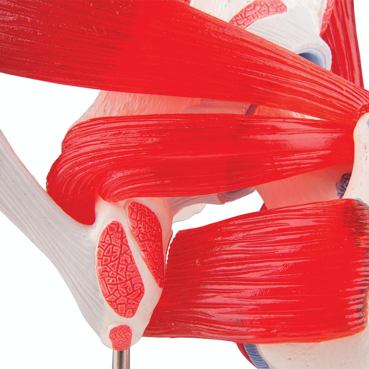 hoftemodel med muskulatur i 7 del