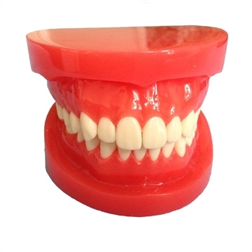 Tandsæt af voksen i naturlig størrelse