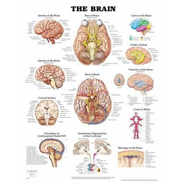 Hjernen lamineret plakat engelsk (The brain)