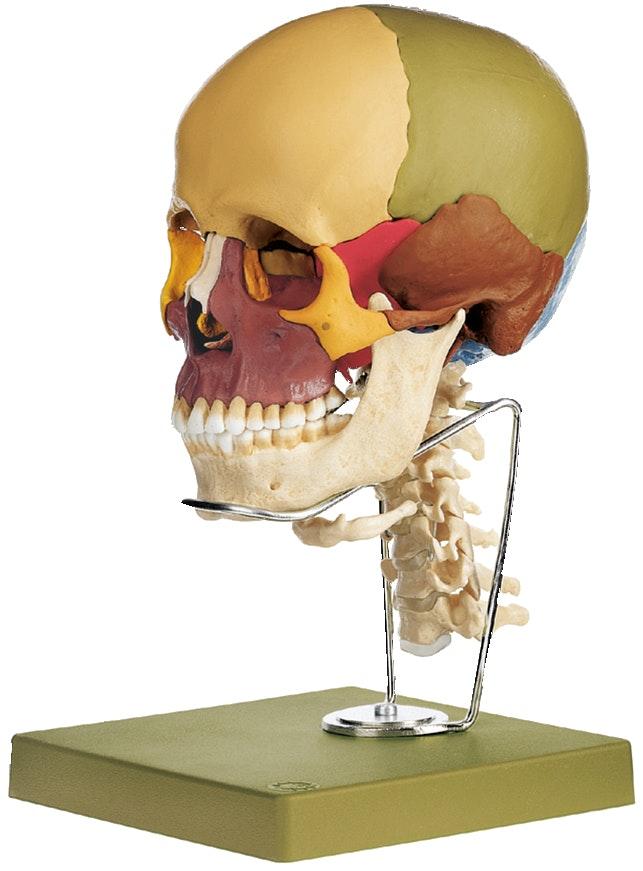 SOMSO 14-delt kraniemodel med farver og cervikalhvirvler