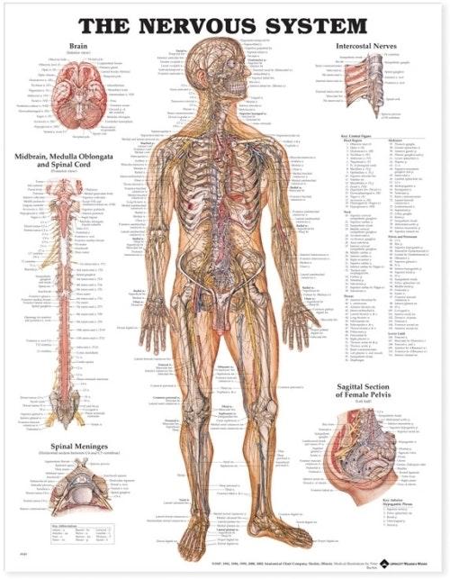 Plakat om nervesystemet på engelsk