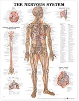Nervsystemet laminerad affisch engelska