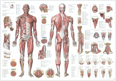 The Complete Muscular System Poster