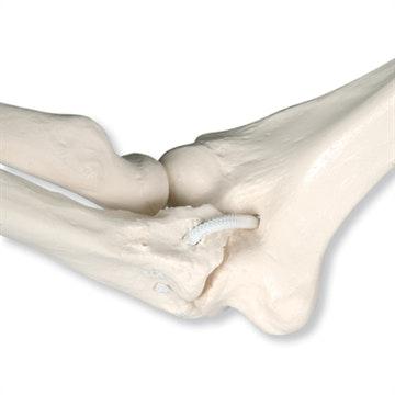 3B funktionel fysiologisk skeletmodel