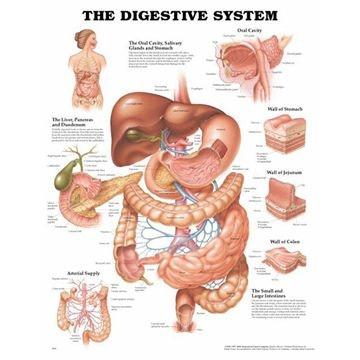 Fordøjelsessystemet lamineret plakat engelsk (Digestive system)