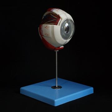 Ögonmodell sex x normalstorlek tre delar med uttagbar funktionell lins