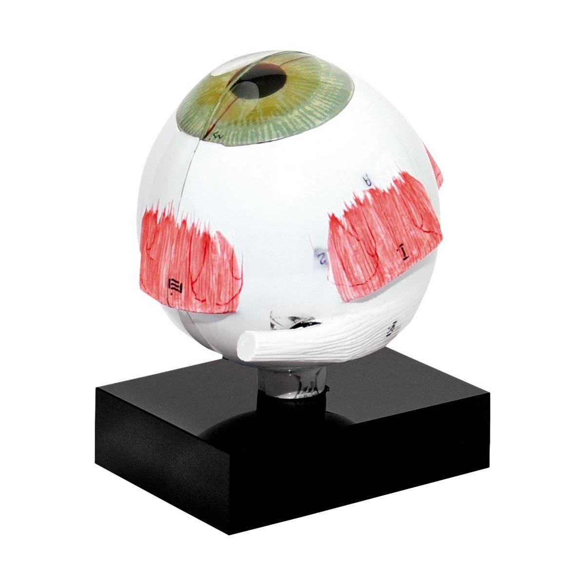 Model øje for Ultralyds biometri