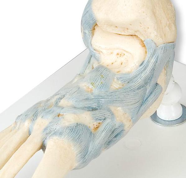 Fodskeletmodel med ligamenter