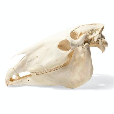 Hestekranie (Equus caballus)