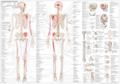 Bevegelsesapparatets anatomi på norsk & latin (EA1)