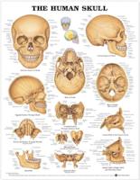 Plansch om kraniets anatomi engelska