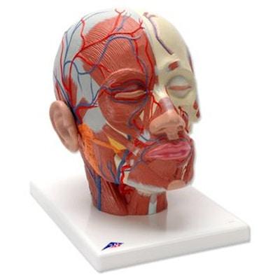 Hovedets muskulatur og blodkar
