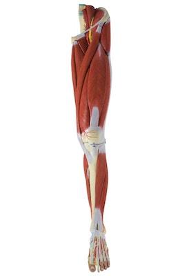 Anatomisk model af benets muskulatur, kar og nerver i 23 dele