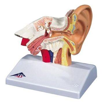 Ørene og hørelsen