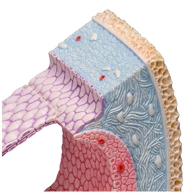 Detaljeret øremodel som både viser hele cochlea og et tværsnit med tredimentionelle detaljer